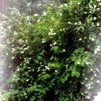 Жасмин цветёт, роняя лепестки Вновь возвращает счастье и мечты... :: Ольга Кривых