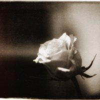 Роза :: Nerses Davtyan