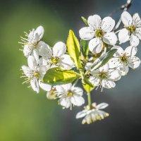 Вишнёвый сад 4 :: Соня Орешковая (Евгения Муравская)