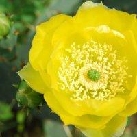 Цветок кактуса :: Нелли *