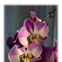 Орхидеи, освещённые солнцем :: Boris Alabugin