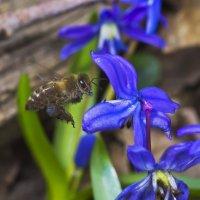 Синий синий пчелка! :: Александр Земляной
