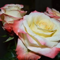 розы :: Алина Коваль