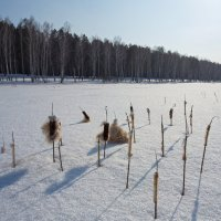камыши под снегом :: Дамир Белоколенко