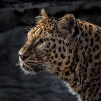 Кавказский леопард :: Nn semonov_nn