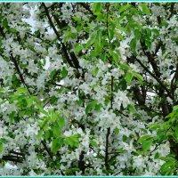 Весна.Яблони :: Владимир Гилясев