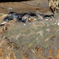 гнездо ласточек :: Дмитрий .