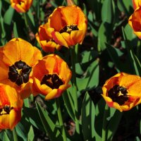 тюльпаны :: Борис Иванов