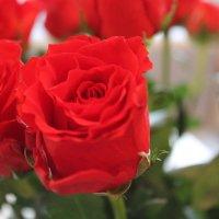 Розы :: Мария Веслова