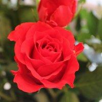 Розы. :: Мария Веслова