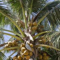ешь кокосы:)) :: Борис