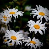 ромашки белые :: gribushko грибушко Николай