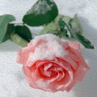 Роза на снегу... :: Nelli