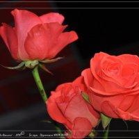 Три  розы :: Валерий Викторович РОГАНОВ-АРЫССКИЙ