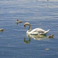 Лебедь и .... :: Екатерина Пирогова