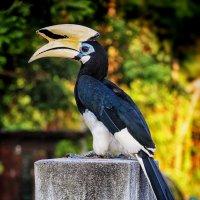 Птица-Носорог (Hornbird) :: Jozhеg Tumanov ( Serg F) Serg F