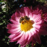 пчелка :: Юрий Ожев