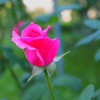 роза :: юлия мушинская