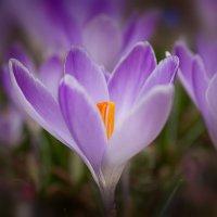 Весна пришла... крокус цветет :: Ирина Рассветная