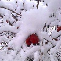 Шиповник в снегу :: Любовь Игнатова