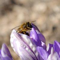 Пчелка :: Виктор Сергеевич Конышев