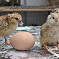 """Только мы вам откроем правду о том, что на свет появилось раньше: """"Яйцо или курица&quot :: Сергей Черных"""