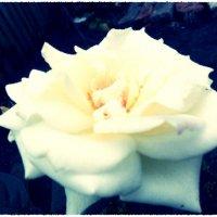 Облочная роза :: Татьяна Васильева