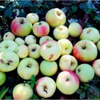 Яблочный клад :: Татьяна Васильева