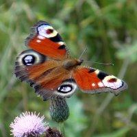 Лесная бабочка. :: Елизавета Успенская