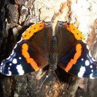 бабочка :: Натали Каменская