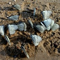 бабочки :: Натали Каменская