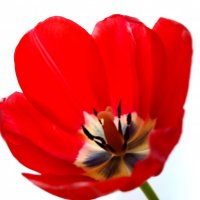 Tulip (тюльпан) :: Александр Неклеса