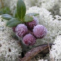 брусничное мороженное :: Андрей Чепурнов