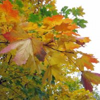 Кленовые листья :: Алла Губенко