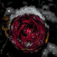 Роза в снегу :: Павел Данилевский