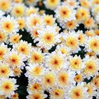 хризантемы в моем саду. :: Марина Брюховецкая