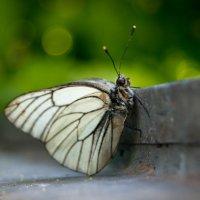 Бабочка :: Елена Переславцева