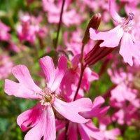 Весенние цветочки :: Елена Васильева