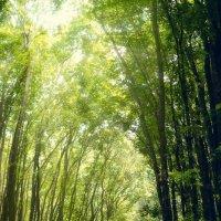 Махагоновый лес :: алексей афанасьев