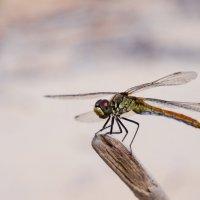 dragonfly :: Николай Ильин