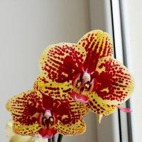 Красавица орхидейка :: Елена Васильева