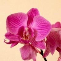 Орхидея :: Елена Васильева