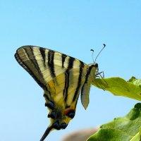 Бабочка :: Виталий Острецов
