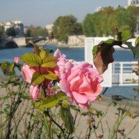 Розы :: Мария Щукина