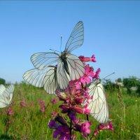 Летние танцы бабочек... :: Лена L.