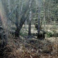 Лучь надежды в умирающем царстве леса. :: Ольга Кривых