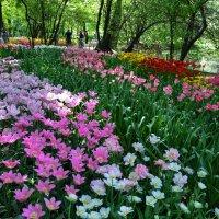 Аптекарский огород. Проспект Мира. Тюльпаны цветут. :: Лариса *