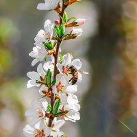 Пчела на цветках черешни :: Анатолий Клепешнёв