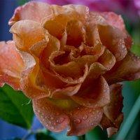 Рыжая роза :: Сергей Борденов