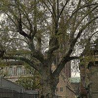 старое дерево старого города :: Александр Корчемный